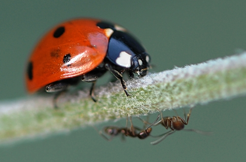 LADYBUG crawls on a lavender stem in search of ants. (Photo by Kathy Keatley Garvey)