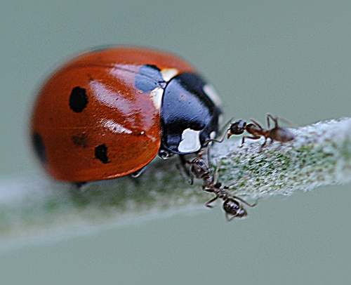 THESE ANTS are about to become lunch for this ladybug. (Photo by Kathy Keatley Garvey)