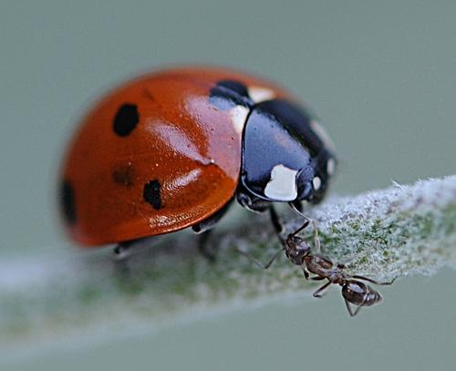 Grabbing Ant