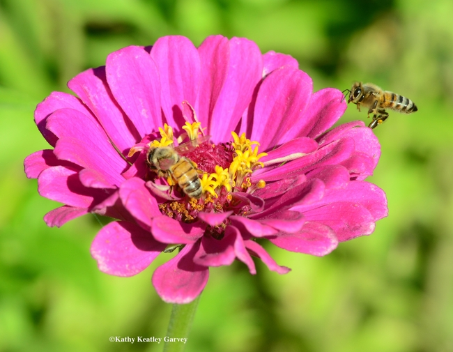 Two honey bees nearly collide over this pink zinnia. (Photo by Kathy Keatley Garvey) for Bug Squad Blog