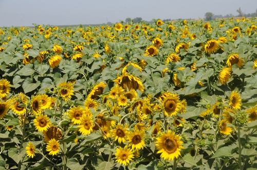 HEADS of sunflowers follow the sun in what scientists call heliotropism. These sunflowers are in a field off Pedrick Road, Dixon, Calif.   (Photo by Kathy Keatley Garvey)