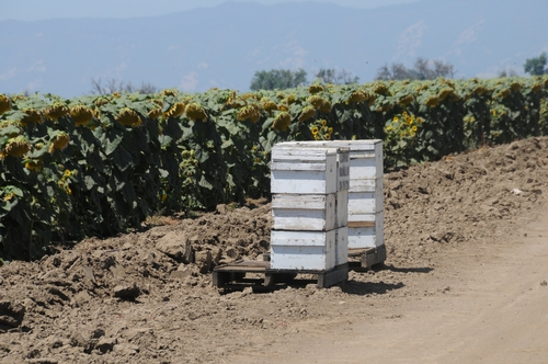 BEE HIVES line a sunflower field along Pedrick Road, Dixon, Calif. (Photo by Kathy Keatley Garvey)
