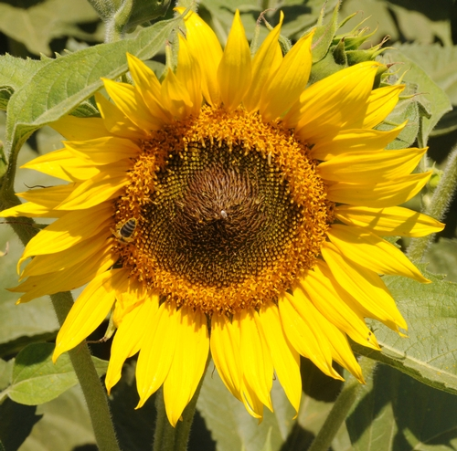 HONEY BEE forages on a sunflower head. (Photo by Kathy Keatley Garvey)