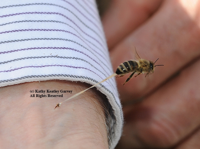 An unusual image of a honey bee sting. Note the stinger embedded in the wrist and the honey bee pulling away, its abdominal tissue trailing. (Photo by Kathy Keatley Garvey)