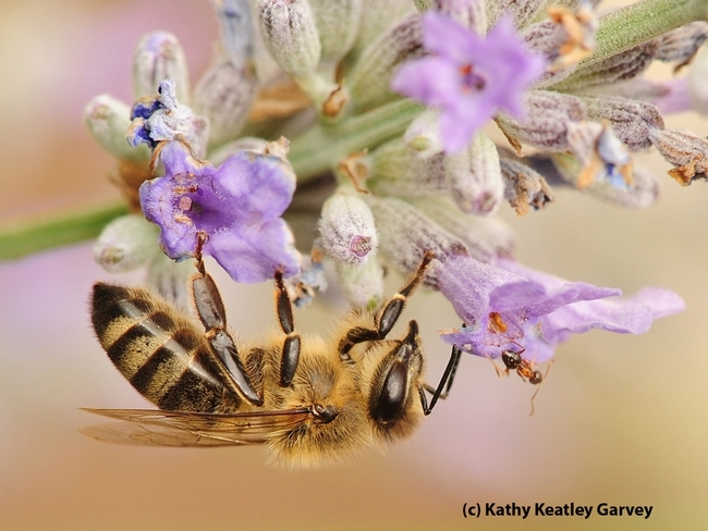 A honey bee encounters a velvetry tree ant. They are foraging on lavender. (Photo by Kathy Keatley Garvey)