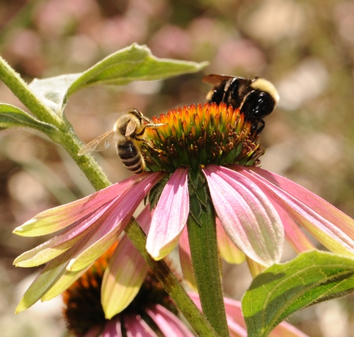 HONEY BEE (Apis mellifera) and a yellow-faced bumble bee (Bombus vosnesenskii) share a purple coneflower (Echinacea purpurea) in the Häagen-Dazs Honey Bee Haven at UC Davis. The grand opening celebration of the half-acre garden, planted last fall, is set from 10 a.m. to 2 p.m. on Saturday, Sept. 11.