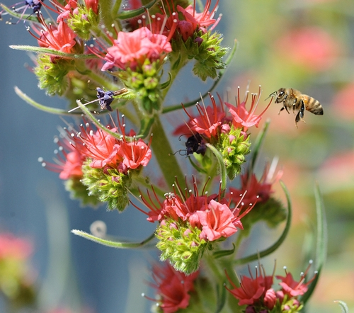 A HONEY BEE heads for a tower of jewels (Echium wildprettii), a plant that can grow nine feet tall. Several towers of jewels were planted last fall at the  Haagen-Dazs Honey Bee Haven at the Harry H. Laidlaw Jr. Honey Bee Research Facility. They are scheduled to bloom next spring.(Photo by Kathy Keatley Garvey)