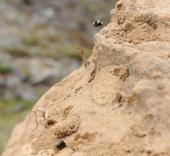 Digger Bees
