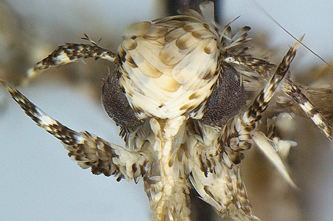 This is the Neopalpa donaldtrumpi moth. (Photo courtesy of evolutionary biologist and systematist Vazrick Nazari of Canada, who named the moth)