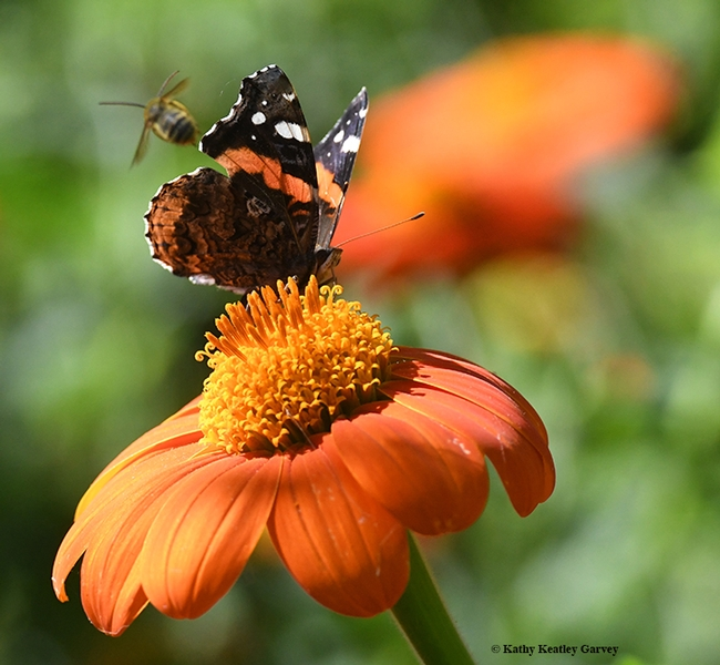 The bee slams into the butterfly and takes off for another round. (Photo by Kathy Keatley Garvey)
