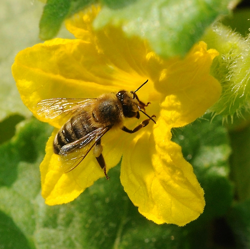 VEGETABLE--One of the crops that honey bees pollinate is the cucumber. (Photo by Kathy Keatley Garvey)