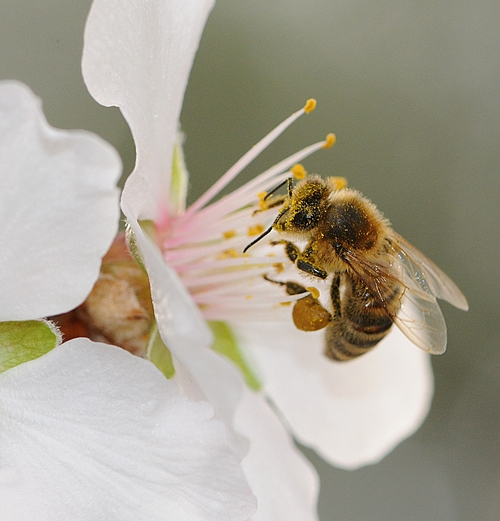 NUT--One of the nuts that the honey bee pollinates is the almond. (Photo by Kathy Keatley Garvey)