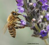 A varroa mite (reddish-brownish spot at left beneath the wings) is attached to this forager nectaring on lavender. (Photo by Kathy Keatley Garvey)