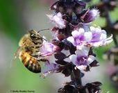 A honey bee nectaring on African blue basil during the partial solar eclipse in Vacaville, Calif. (Photo by Kathy Keatley Garvey)