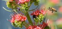 A honey bee heads for a tower of jewels, Echium wildpretii. (Photo by Kathy Keatley Garvey) for Bug Squad Blog