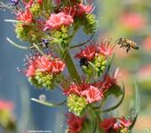 A honey bee heads for a tower of jewels, Echium wildpretii. (Photo by Kathy Keatley Garvey)