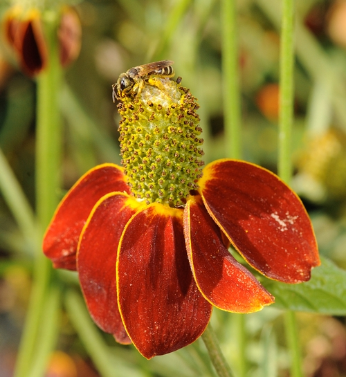 SWEAT BEE--This is a striped sweat bee, Halictus ligatus, on a Mexican hat flower (Ratibida columnifera) in the Häagen-Dazs Honey Bee Haven. (Photo by Kathy Keatley Garvey)
