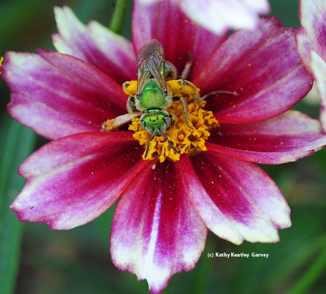 A female ultra green sweat bee, Agapostemon texanus, on Coreopsis tinctora 'Mahogany.' (Photo by Kathy Keatley Garvey)
