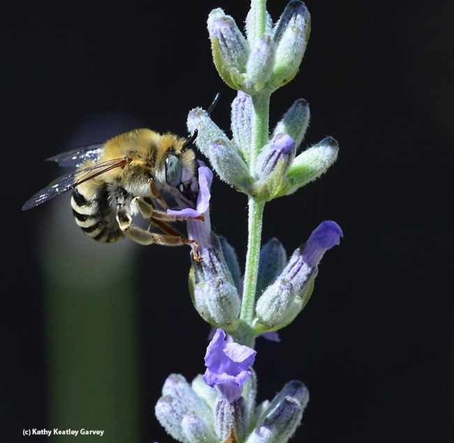 A digger bee, a male Anthophora urbana, on lavender. (Photo by Kathy Keatley Garvey)