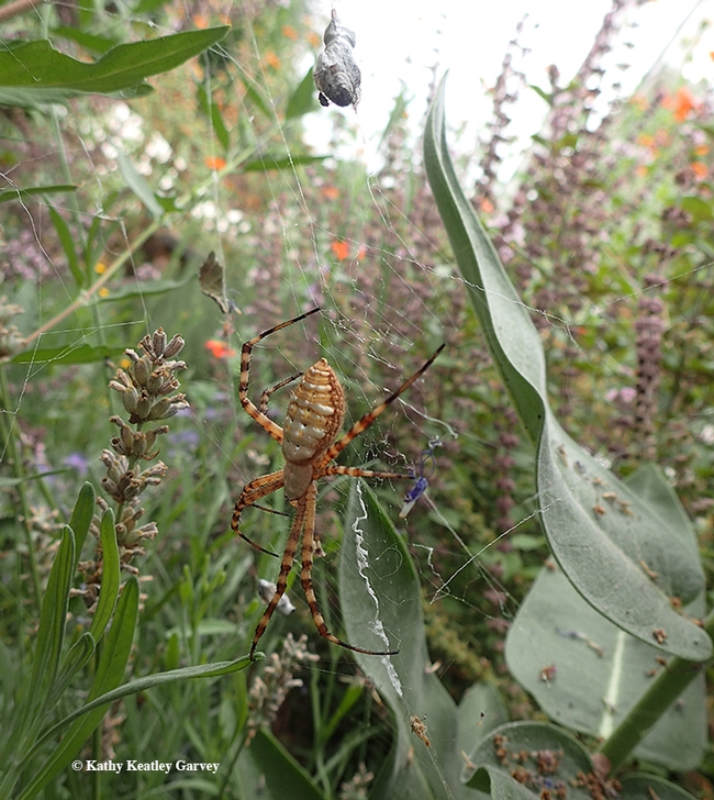 See the  freeloader fly, family Milichiidae, feasting on the wrapped bee?  Below it: the  banded garden spider, Argiope trifasciata. (Photo by Kathy Keatley Garvey)