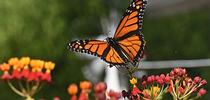 A male monarch takes flight on Sept. 12 in Vacaville, Calif. (Photo by Kathy Keatley Garvey) for Bug Squad Blog