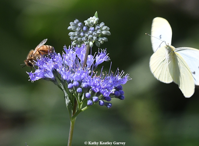 Photobomb! A cabbage white butterfly, Pieris rapae, photobombs a bee nectaring on bluebeard, Caryopteris x clandonensis. (Photo by Kathy Keatley Garvey)