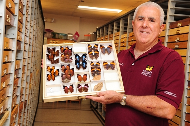 Curator Jeff Smith displays specimens in the butterfly and moth collection at the Bohart Museum of Entomology. (Photo by Kathy Keatley Garvey)