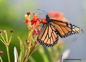 A monarch sips nectar from a tropical milkweed. (Photo by Kathy Keatley Garvey)