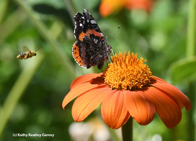 A male territorial long-horned bee targets a red admiral buttefly sipping nectar from a Mexican sunfower, Tithonia. (Photo by Kathy Keatley Garvey)