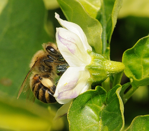 PACKING POLLEN, a honey bee forages in a pepper plant. Peppers are among the vegetables planted in the Häagen-Dazs Honey Bee Haven at UC Davis. The grand opening celebration is from 10 a.m. to 2 p.m. on Saturday, Sept. 11. (Photo by Kathy Keatley Garvey)