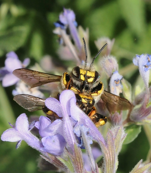 MATING--A male carder bee (top) finally catches up to a female. (Photo by Kathy Keatley Garvey)