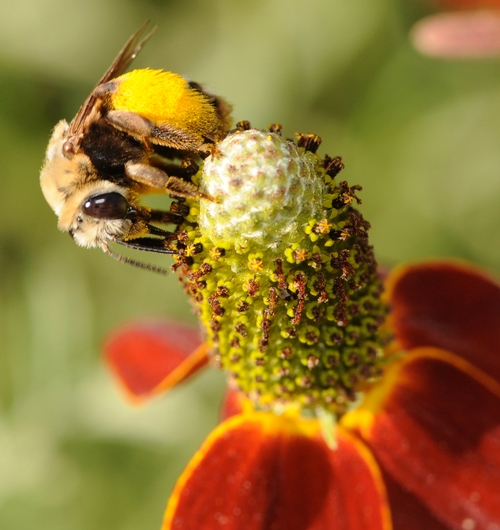 SUNFLOWER BEE, Svastra obliqua expurgata, moves around the top of a Mexican hat flower, a member of the aster family. (Photo by Kathy Keatley Garvey)