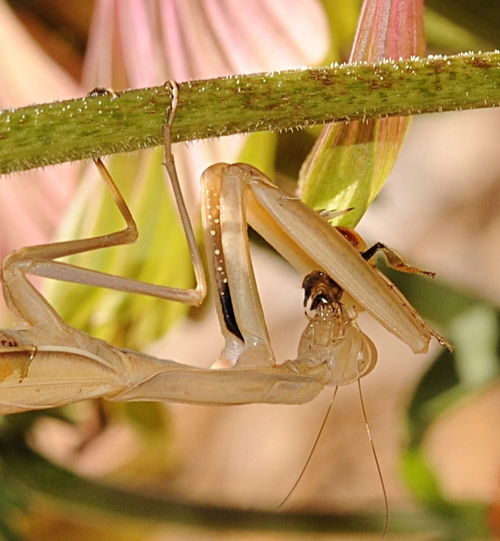 CLOSE-UP shot shows the praying mantis eating the honey bee. (Photo by Kathy Keatley Garvey)