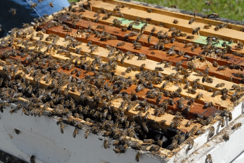 THESE BEES at the Harry H. Laidlaw Jr. Honey Bee Research Facility, UC Davis, are ready to swarm. A few minutes later, they took off. (Photo by Kathy Keatley Garvey)