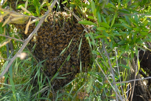 THE TRUNK of a tree is covered with bees that have just swarmed. (Photo by Kathy Keatley Garvey)