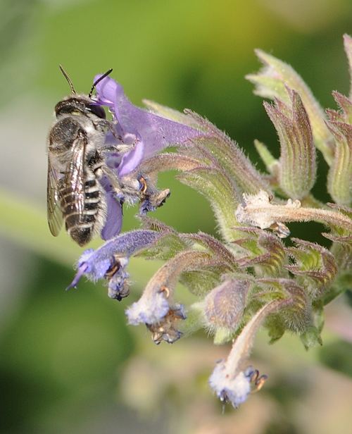 LEAFCUTTER BEE nectars from a catmint flower. (Photo by Kathy Keatley Garvey)