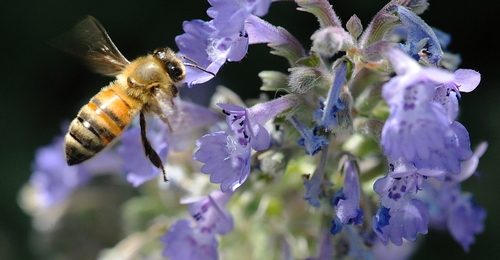 Bee and Catmint
