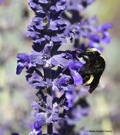 A yellow-faced bumble bee, Bombus vosnesenskii, nectaring on Salvia 'Indigo Spires' in Kate Frey's pollinator garden at the Sonoma Cornerstone. (Photo by Kathy Keatley Garvey)