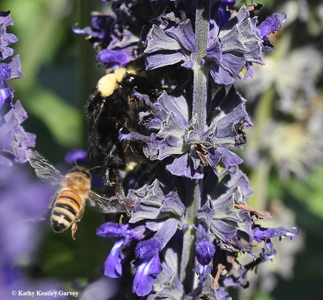 Honey bee heads for the same plant, Salvia 'Indigo Spires,' in Kate Frey's pollinator gardener at the Sonoma Cornerstone. (Photo by Kathy Keatley Garvey)