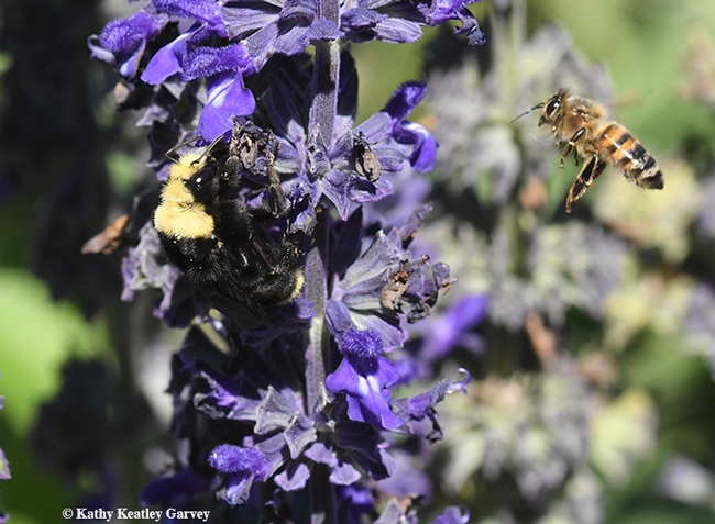 Me, too! Another another bee wants a share of the food--the sweet nectar from Salvia 'Indigo Spires.' (Photo by Kathy Keatley Garvey)