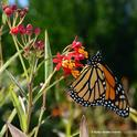 A male monarch nectaring on tropical milkweed on Friday the 13th in Vacaville, Calif. (Photo by Kathy Keatley Garvey)