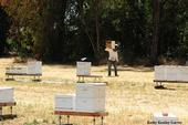 Home is where the bees are. A beekeeper at the Harry H. Laidlaw Jr. Honey Bee Facility, UC Davis. (Photo by Kathy Keatley Garvey)