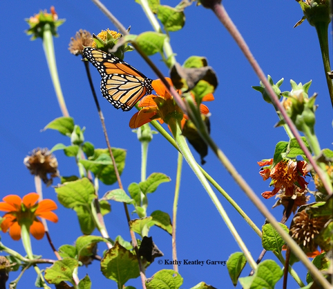 In a sea of nearly spent Mexican sunflowers, a lone migrating monarch, Danaus plexippus, finds food. (Photo by Kathy Keatley Garvey)
