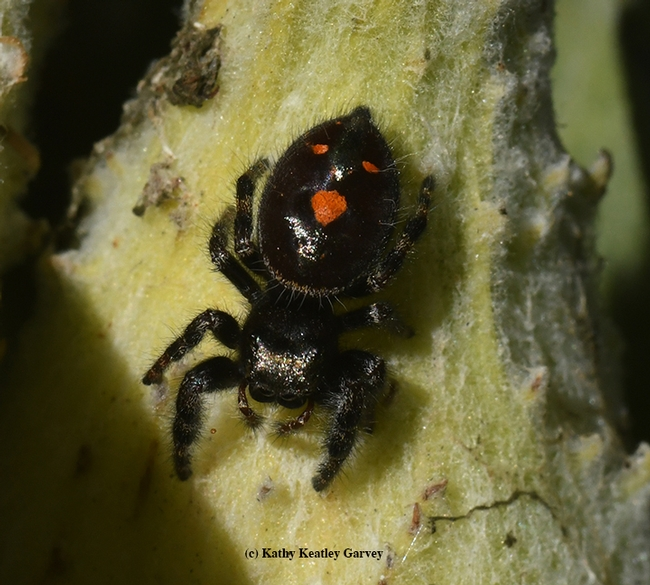 Orange you glad it's almost Halloween? A juvenile bold jumping spider, Phidippus audax, hangs out on a showy milkweed.  (Photo by Kathy Keatley Garvey)