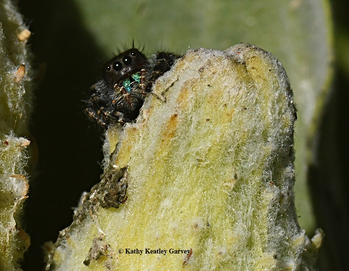 tags asclepias speciosa 8 bold jumping spider 2 halloween 7 phidippus audax 3 showy milkweed 4