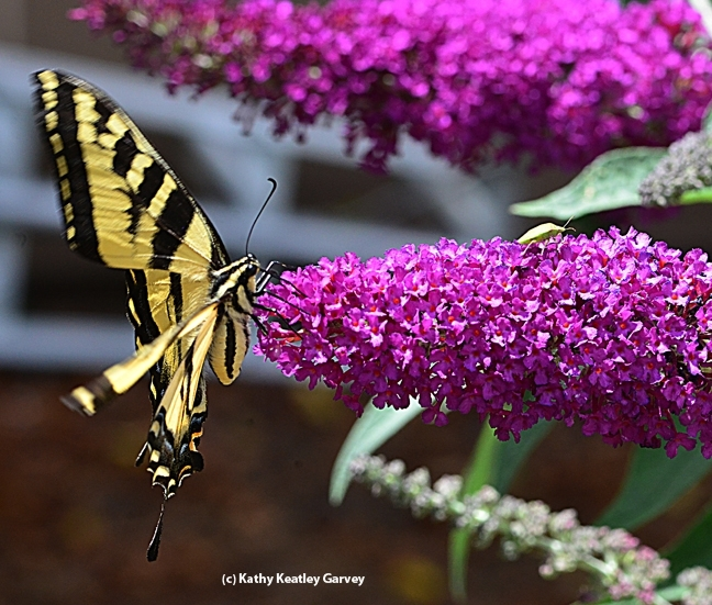 A Western tiger swallowtail, Papilio rutulus, nectaring a butterfly bush, Buddleia davidii. This is one of the plants for sale at the UC Davis Arboretum Teaching Nursery on Nov. 4. (Photo by Kathy Keatley Garvey)