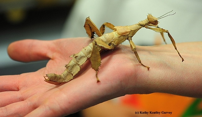 This is the insect that entomologist Matan Shelomi studies: the stick insect, order Phasmatodea. (Photo by Kathy Keatley Garvey)