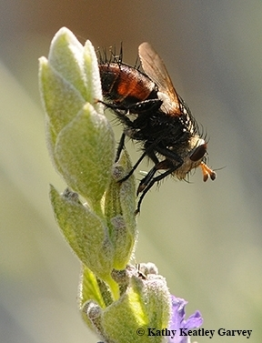 A tachinid fly parasitizes caterpillars, including