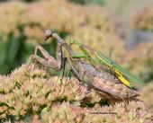 Mating pair of Stagmomantis limbata, a common mantis in Vacaville, Calif. The male did not lose his head. (Photo by Kathy Keatley Garvey)