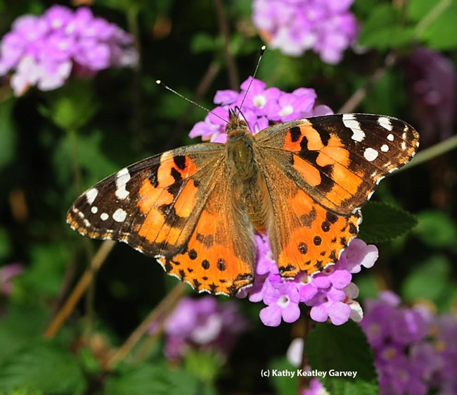 A painted lady, Vanessa cardui, on lantana in Vacaville, Calif. Now researchers at the University of Manitoba have identified the genetic code by which butterflies can assign color patterns to different parts of their wings during development. (Photo by Kathy Keatley Garvey)